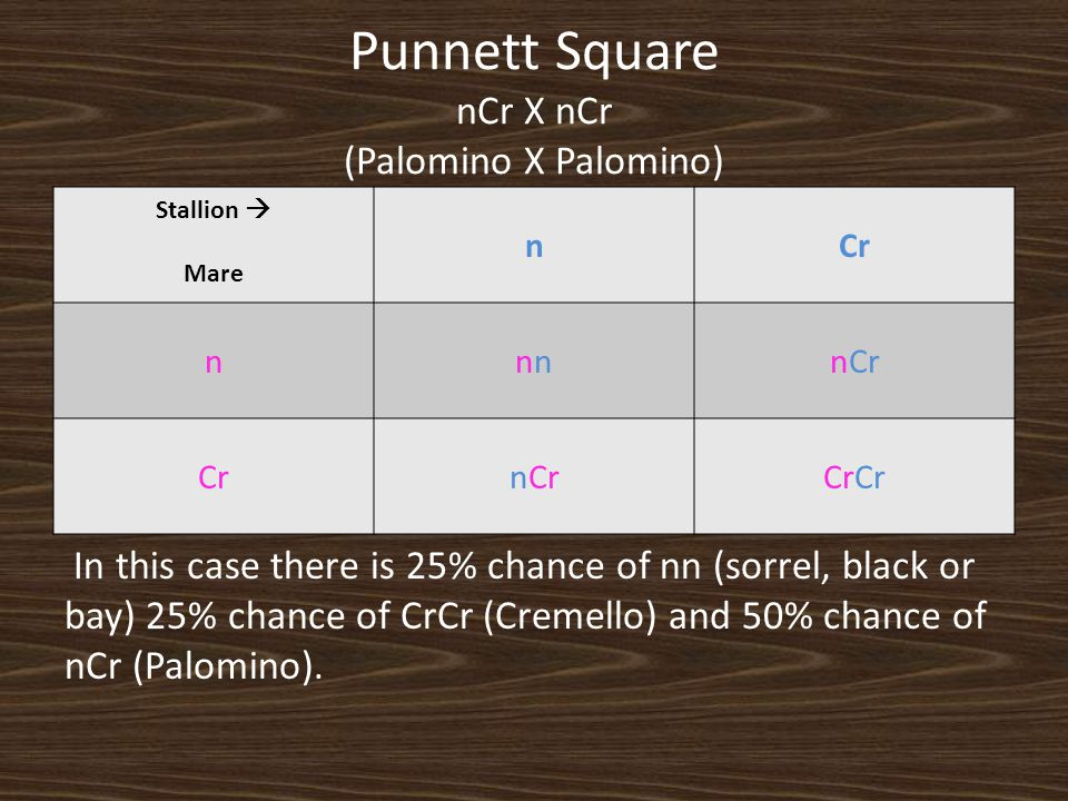 Punnett Square nCr X nCr (Palomino X Palomino) Stallion  Mare nCr nnnCr CrnCrCr In this case there is 25% chance of nn (sorrel, black or bay) 25% cha