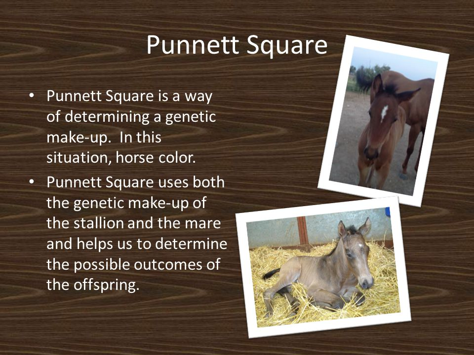 Punnett Square Punnett Square is a way of determining a genetic make-up. In this situation, horse color. Punnett Square uses both the genetic make-up