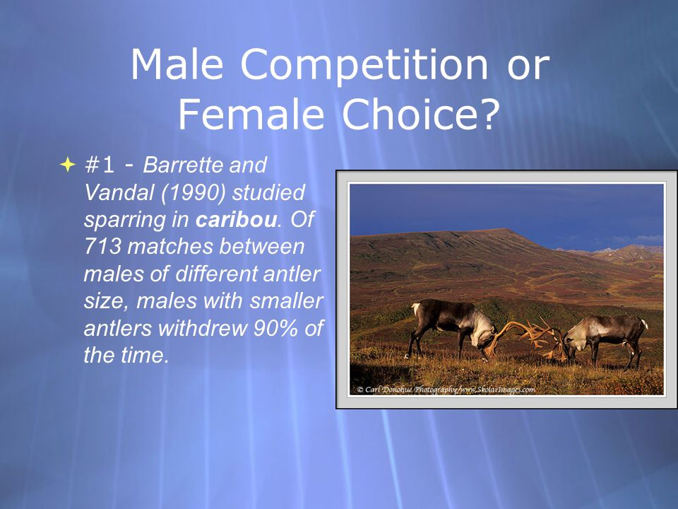 Male Competition or Female Choice.  #1 - Barrette and Vandal (1990) studied sparring in caribou.