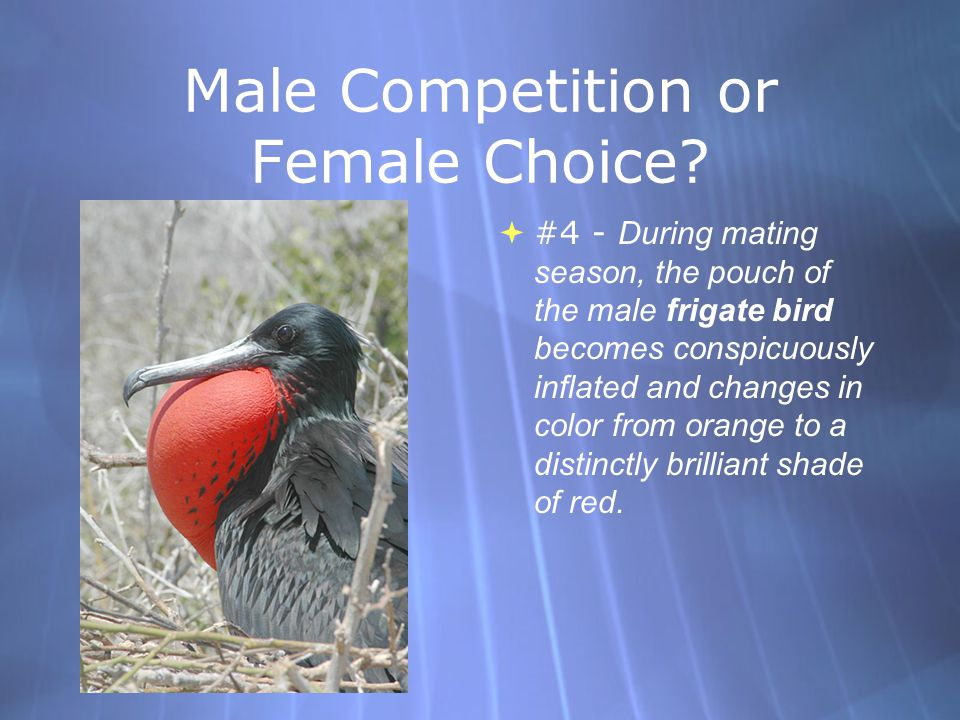 Male Competition or Female Choice.