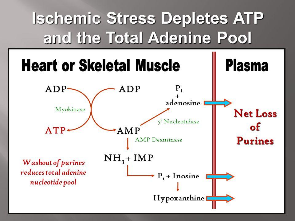 Ischemic Stress Depletes ATP and the Total Adenine Pool ADP AMP ADP ATP Myokinase adenosine NH 3 + IMP PiPi Hypoxanthine P i + Inosine Net Loss ofPuri