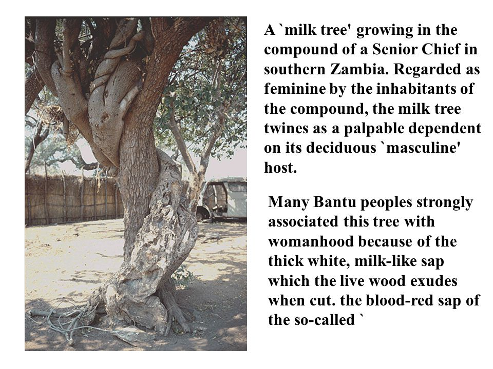 A `milk tree' growing in the compound of a Senior Chief in southern Zambia. Regarded as feminine by the inhabitants of the compound, the milk tree twi