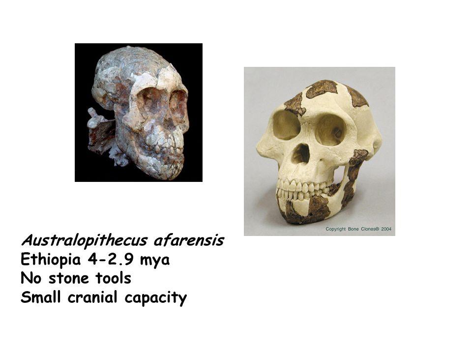 Australopithecus afarensis Ethiopia 4-2.9 mya No stone tools Small cranial capacity