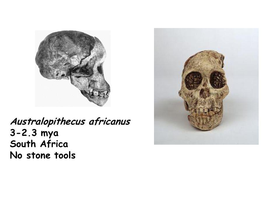 Australopithecus africanus 3-2.3 mya South Africa No stone tools