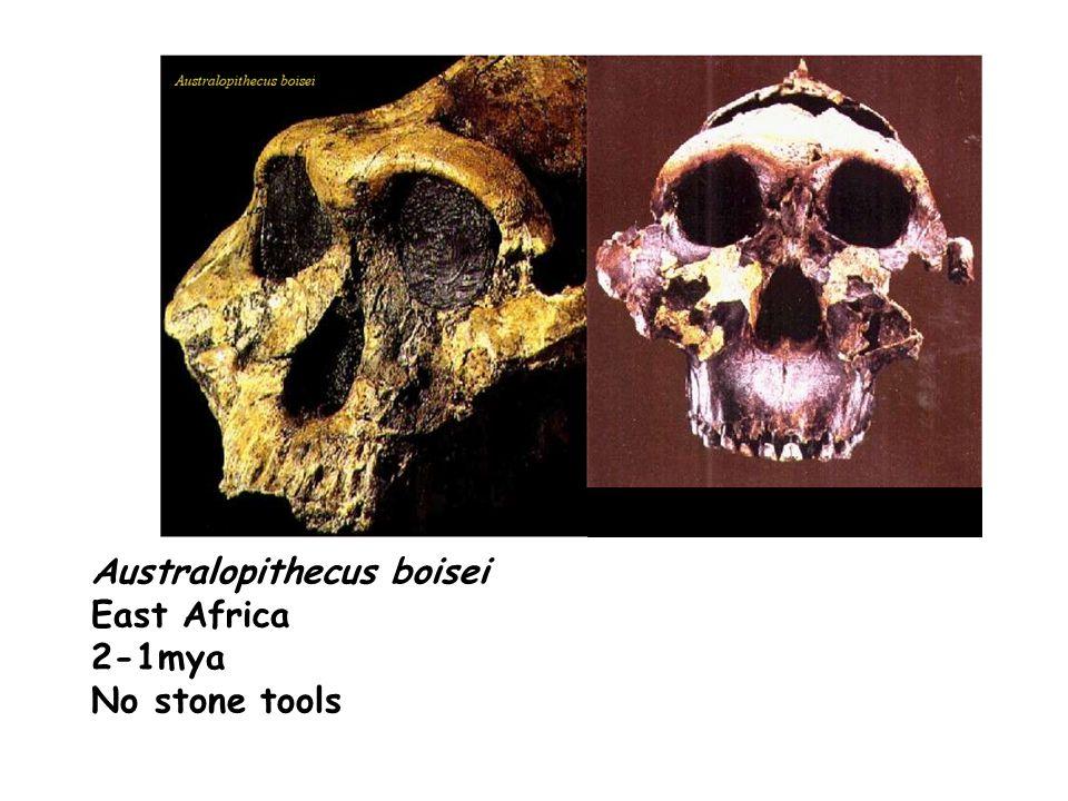 Australopithecus boisei East Africa 2-1mya No stone tools