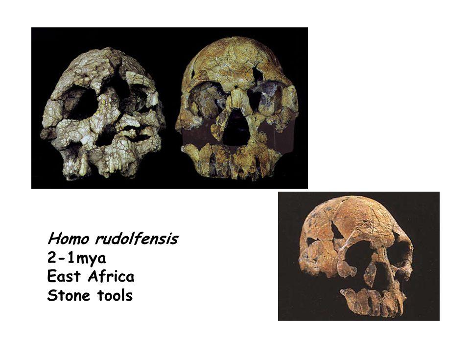 Homo rudolfensis 2-1mya East Africa Stone tools