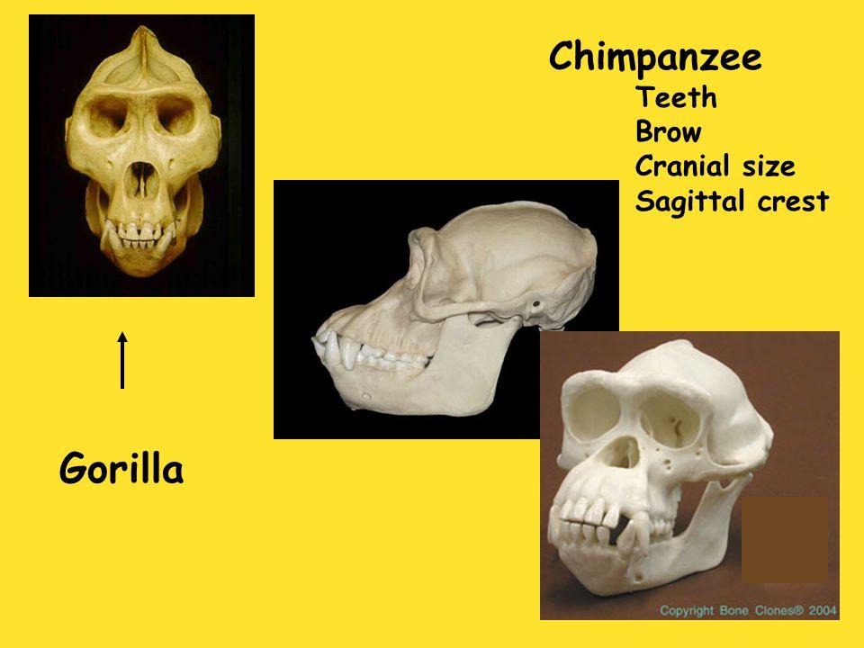 Chimpanzee Teeth Brow Cranial size Sagittal crest Gorilla
