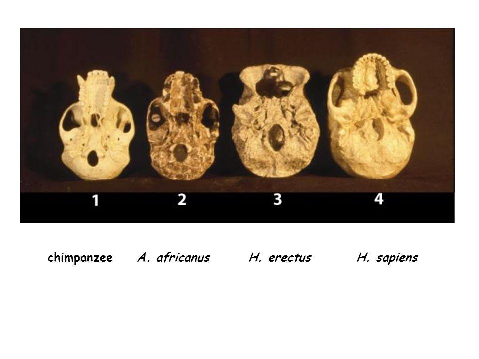 chimpanzee A. africanusH. sapiensH. erectus
