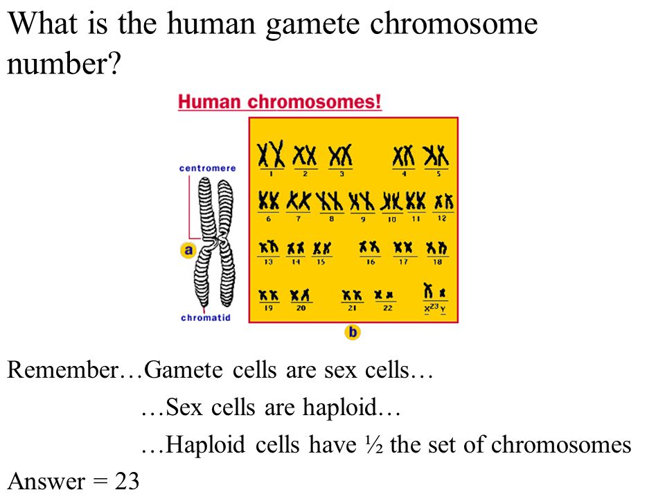 What is the human diploid chromosome number.