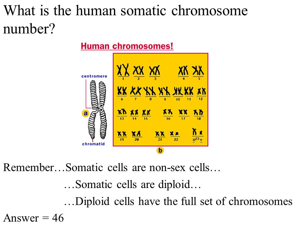 What is the human gamete chromosome number.