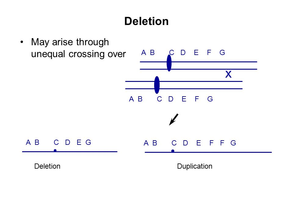 Deletion May arise through unequal crossing over A B C D E F G x A B C D E F F G A B C D E G Deletion Duplication