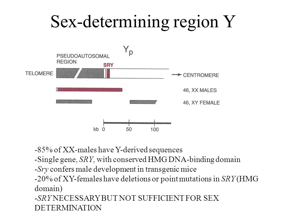 Sex-determining region Y -85% of XX-males have Y-derived sequences -Single gene, SRY, with conserved HMG DNA-binding domain -Sry confers male developm