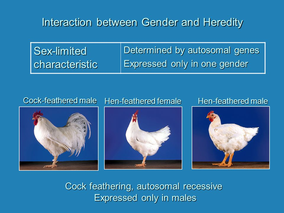 Interaction between Gender and Heredity Sex-limited characteristic Determined by autosomal genes Expressed only in one gender Cock feathering, autosom