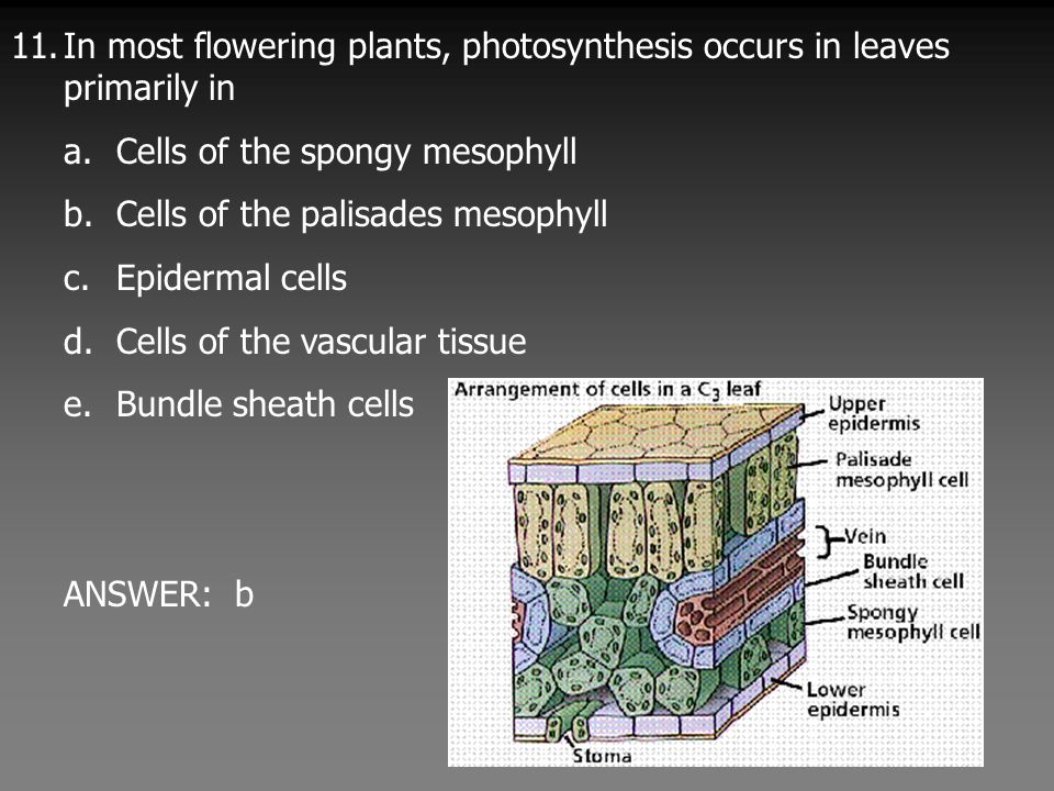 11.In most flowering plants, photosynthesis occurs in leaves primarily in a.Cells of the spongy mesophyll b.Cells of the palisades mesophyll c.Epidermal cells d.Cells of the vascular tissue e.Bundle sheath cells ANSWER: b