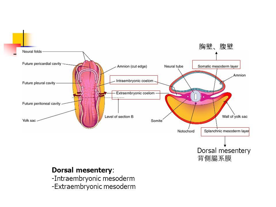 胸壁、腹壁 Dorsal mesentery 背側腸系膜 Dorsal mesentery: -Intraembryonic mesoderm -Extraembryonic mesoderm