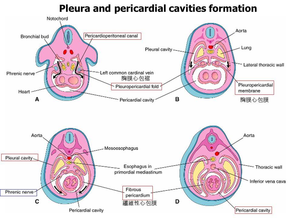 Pleura and pericardial cavities formation 胸膜心包褶 胸膜心包膜 纖維性心包膜