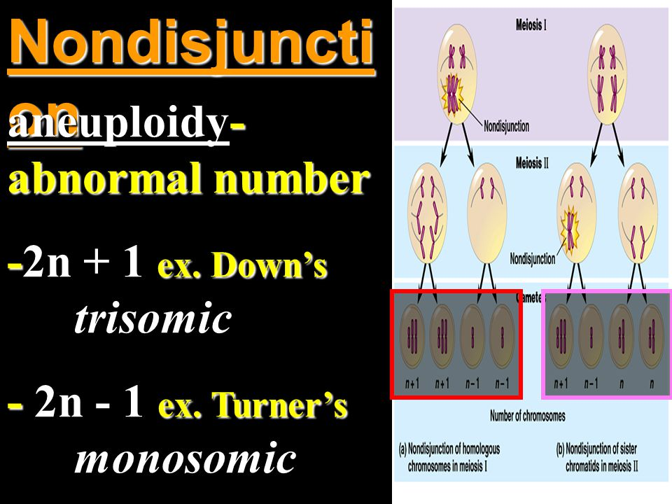 Nondisjuncti on aneuploidy- abnormal number -2n + 1 ex.