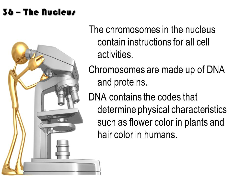 36 – The Nucleus The chromosomes in the nucleus contain instructions for all cell activities.