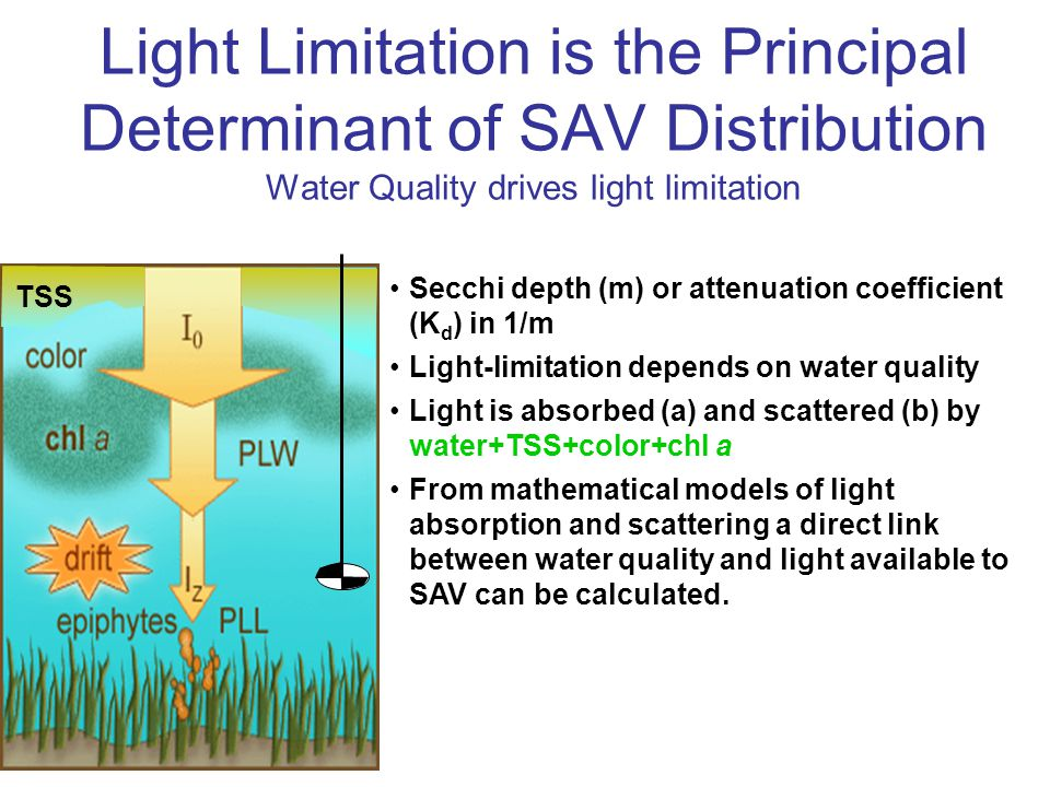 Light Limitation is the Principal Determinant of SAV Distribution Water Quality drives light limitation Secchi depth (m) or attenuation coefficient (K d ) in 1/m Light-limitation depends on water quality Light is absorbed (a) and scattered (b) by water+TSS+color+chl a From mathematical models of light absorption and scattering a direct link between water quality and light available to SAV can be calculated.