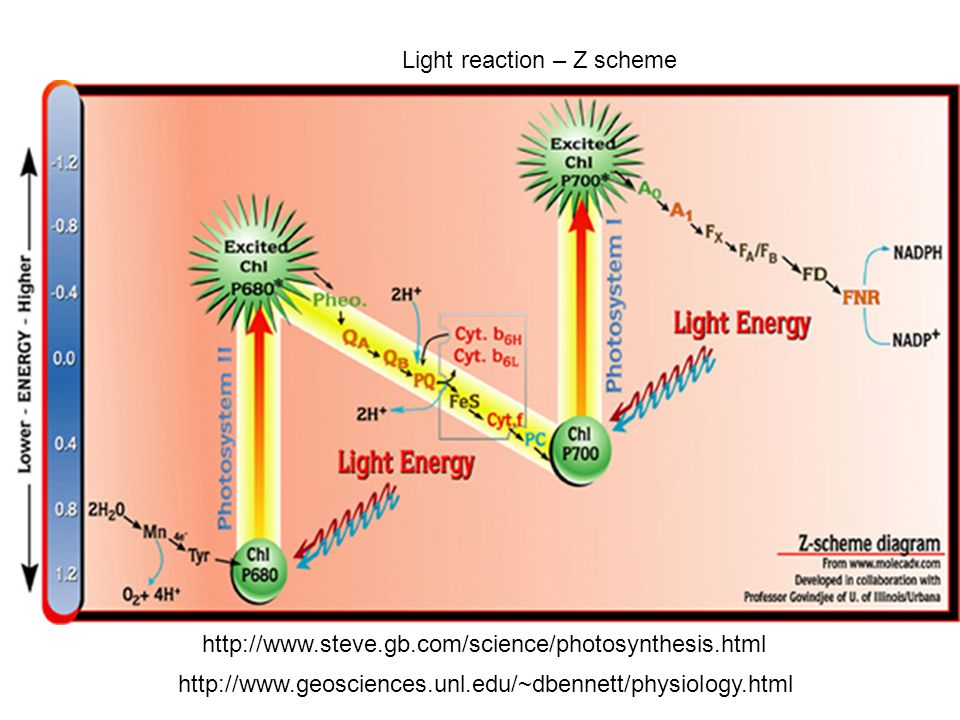 Light reaction – Z scheme http://www.steve.gb.com/science/photosynthesis.html http://www.geosciences.unl.edu/~dbennett/physiology.html
