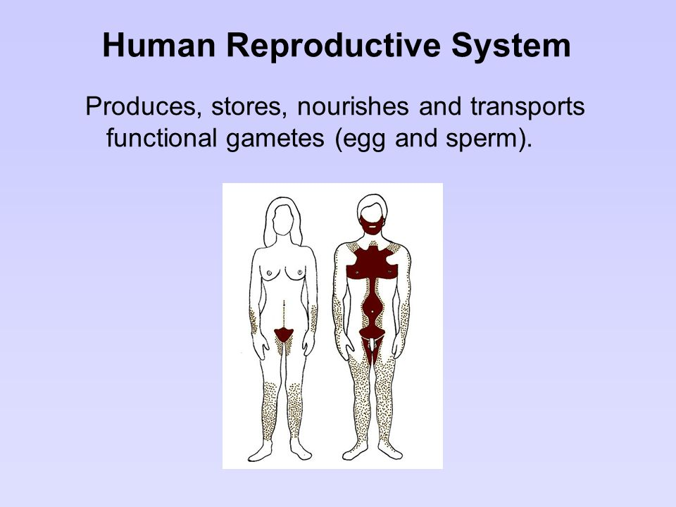 Human Reproductive System Produces, stores, nourishes and transports functional gametes (egg and sperm).