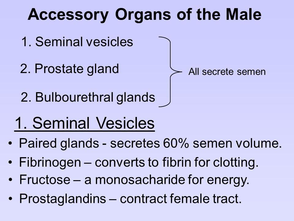 Accessory Organs of the Male 1. Seminal vesicles 2. Prostate gland 2. Bulbourethral glands All secrete semen 1. Seminal Vesicles Paired glands - secre