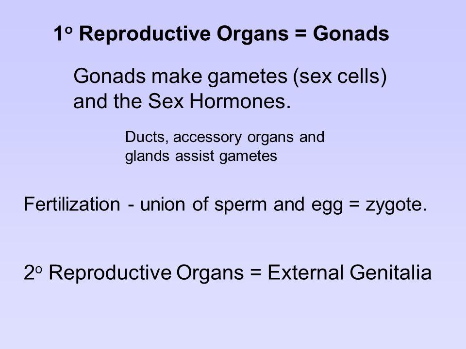 2 o Reproductive Organs = External Genitalia Fertilization - union of sperm and egg = zygote. 1 o Reproductive Organs = Gonads Gonads make gametes (se