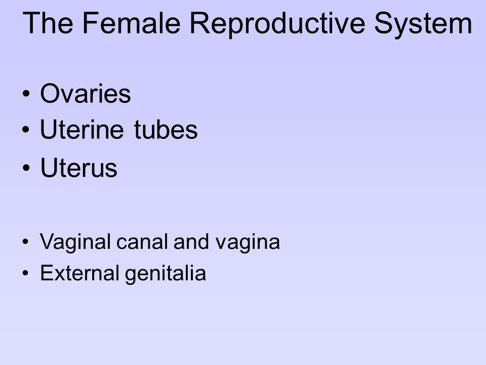 The Female Reproductive System Vaginal canal and vagina External genitalia Ovaries Uterus Uterine tubes
