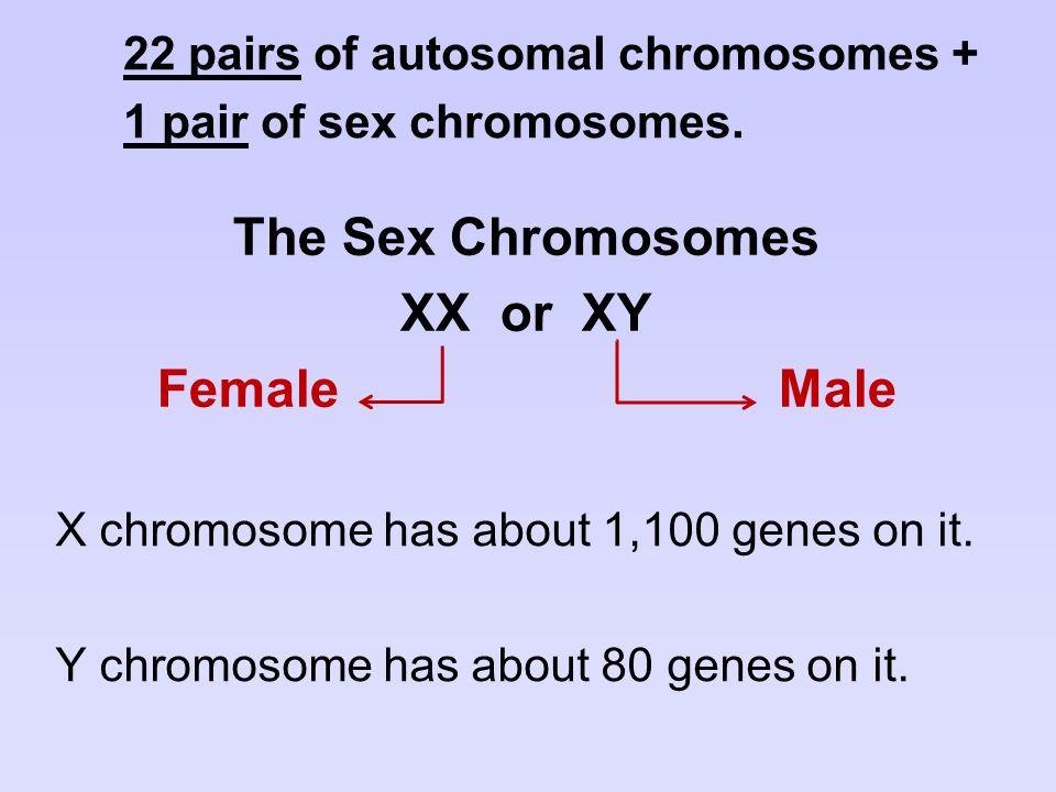 The Sex Chromosomes XX or XY Female Male X chromosome has about 1,100 genes on it. Y chromosome has about 80 genes on it. 22 pairs of autosomal chromo