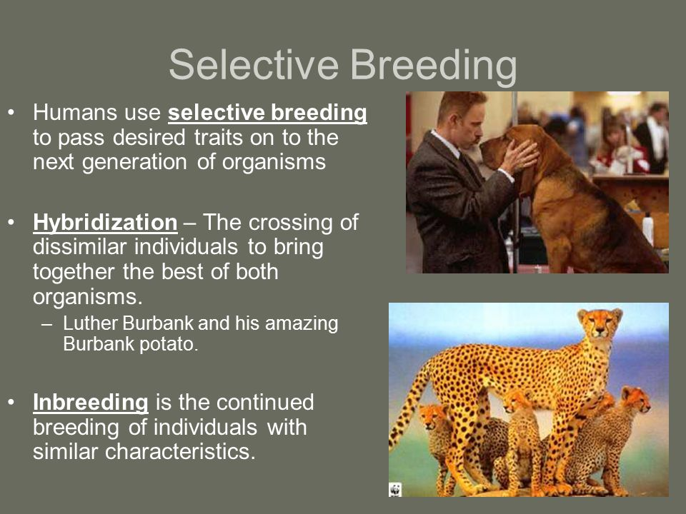 Selective Breeding Humans use selective breeding to pass desired traits on to the next generation of organisms Hybridization – The crossing of dissimi
