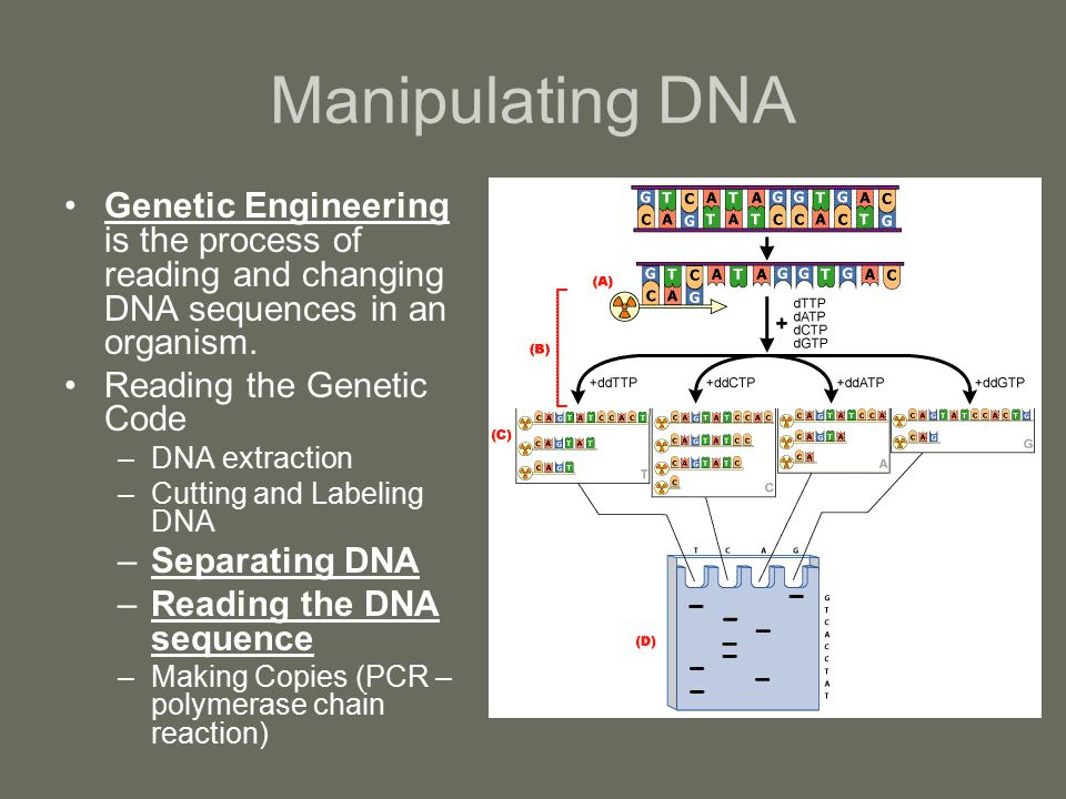 Manipulating DNA Genetic Engineering is the process of reading and changing DNA sequences in an organism. Reading the Genetic Code –DNA extraction –Cu