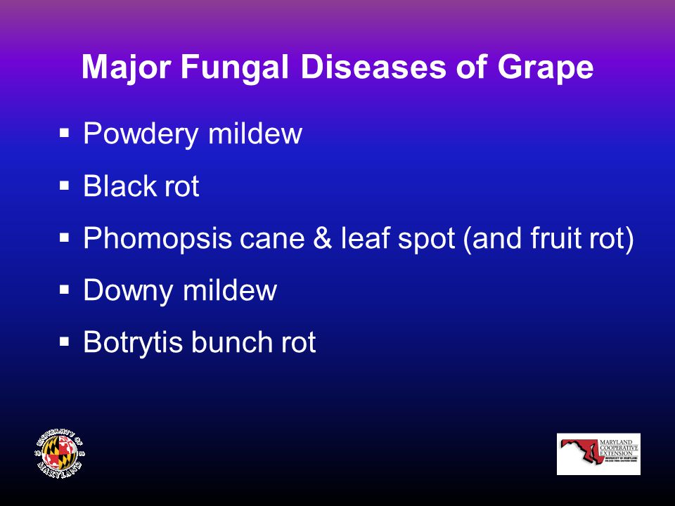 Major Fungal Diseases of Grape  Powdery mildew  Black rot  Phomopsis cane & leaf spot (and fruit rot)  Downy mildew  Botrytis bunch rot