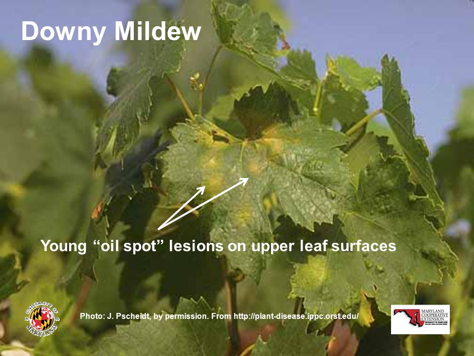 Downy Mildew Young oil spot lesions on upper leaf surfaces Photo: J.