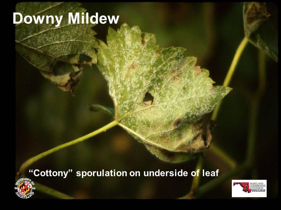 Downy Mildew Cottony sporulation on underside of leaf
