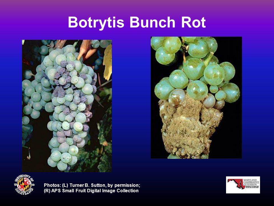 Botrytis Bunch Rot Photos: (L) Turner B.
