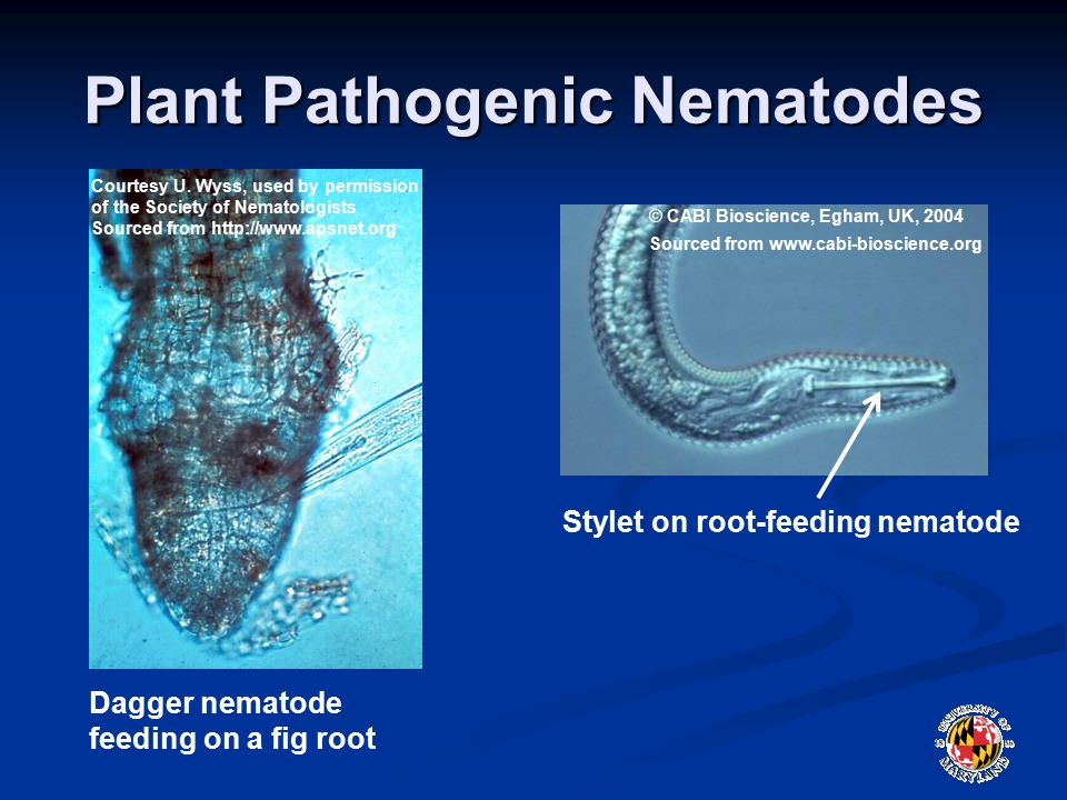 Plant Pathogenic Nematodes © CABI Bioscience, Egham, UK, 2004 Sourced from www.cabi-bioscience.org Stylet on root-feeding nematode Courtesy U.