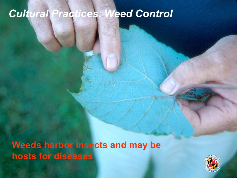 Cultural Practices: Weed Control Weeds harbor insects and may be hosts for diseases