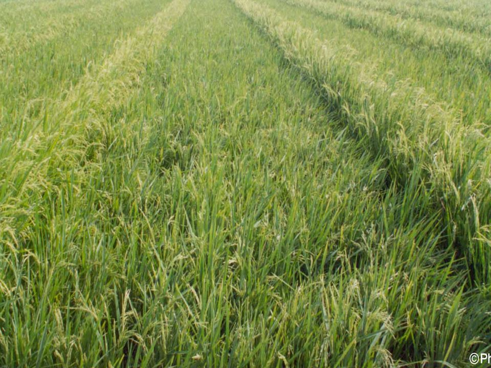9 Hybrid rice seed production