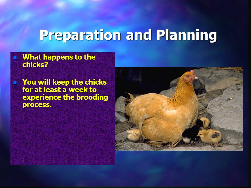 Preparation and Planning n What happens to the chicks.