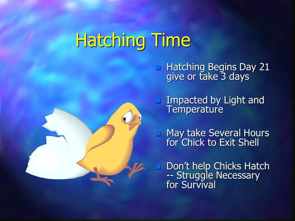 Hatching Time n Hatching Begins Day 21 give or take 3 days n Impacted by Light and Temperature n May take Several Hours for Chick to Exit Shell n Don't help Chicks Hatch -- Struggle Necessary for Survival