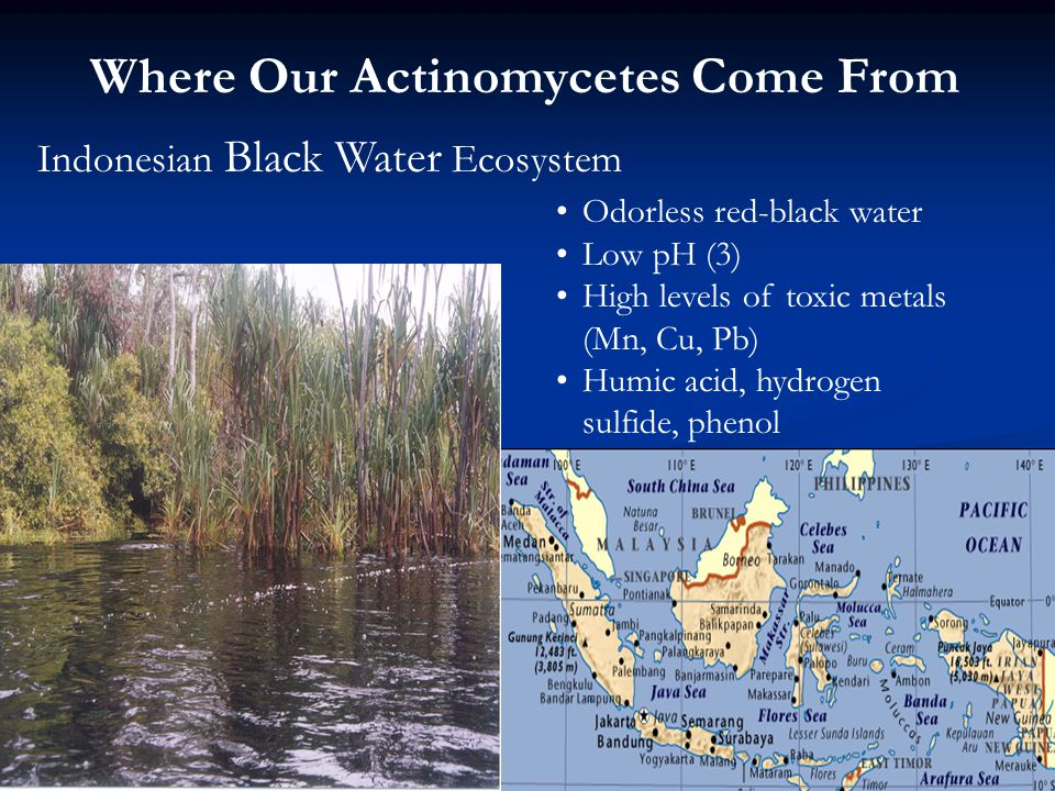 Where Our Actinomycetes Come From Indonesian Black Water Ecosystem Odorless red-black water Low pH (3) High levels of toxic metals (Mn, Cu, Pb) Humic acid, hydrogen sulfide, phenol
