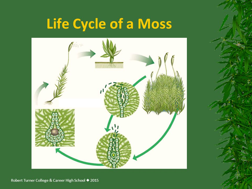 Robert Turner College & Career High School  2015 Life Cycle of a Moss