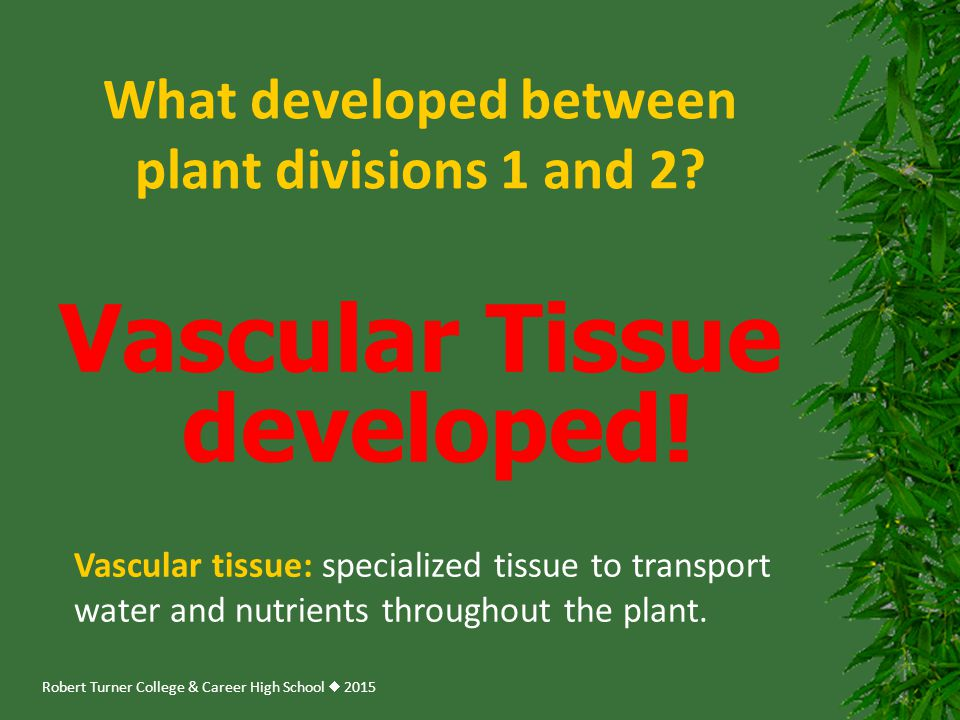 Robert Turner College & Career High School  2015 What developed between plant divisions 1 and 2? Vascular Tissue developed! Vascular tissue: speciali