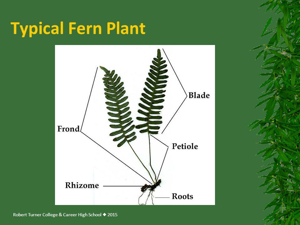 Robert Turner College & Career High School  2015 Typical Fern Plant