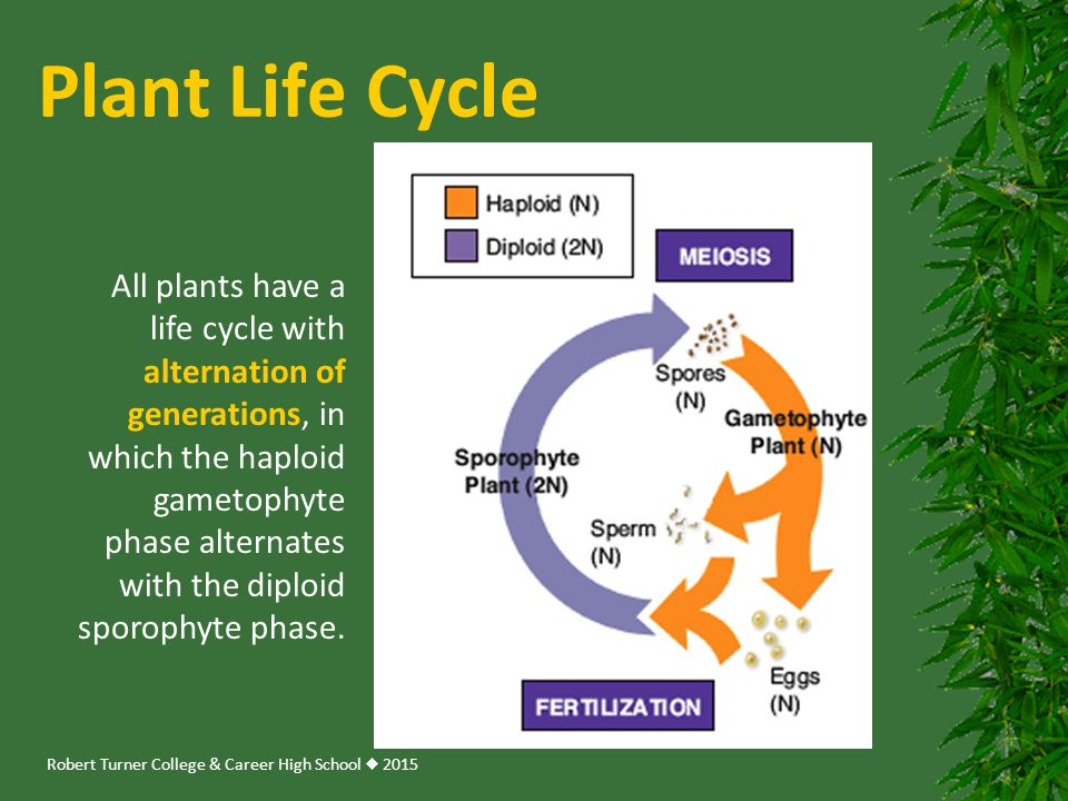 Robert Turner College & Career High School  2015 Plant Life Cycle All plants have a life cycle with alternation of generations, in which the haploid