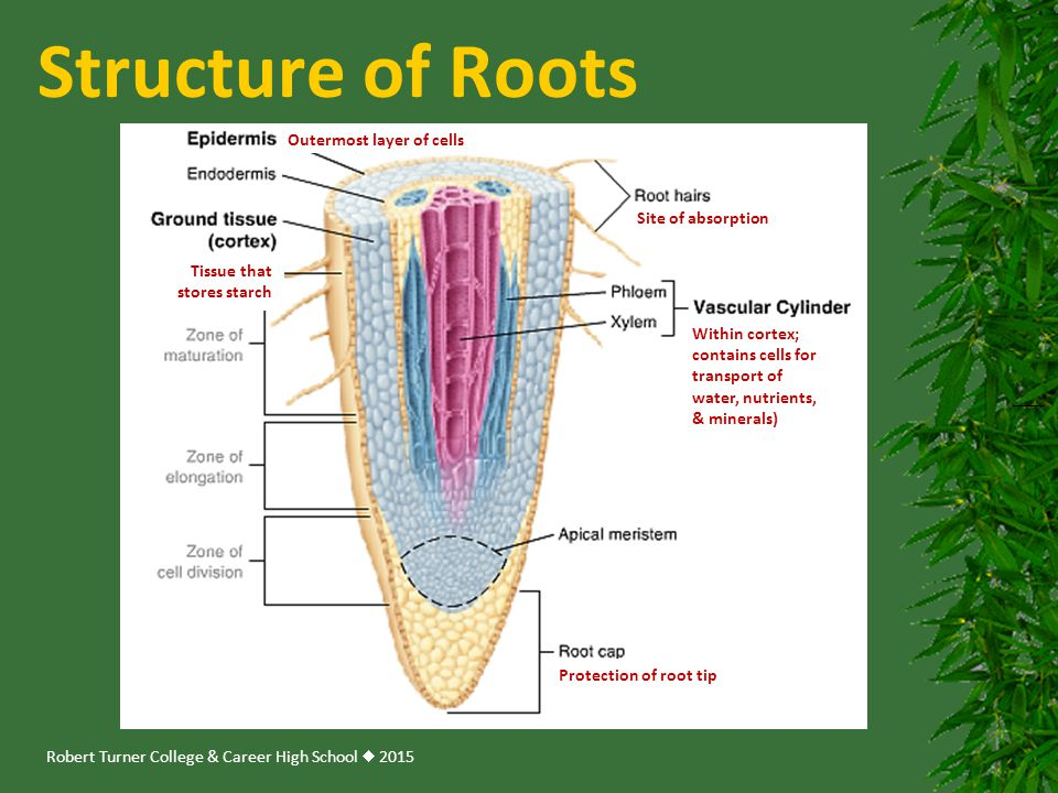Robert Turner College & Career High School  2015 Outermost layer of cells Within cortex; contains cells for transport of water, nutrients, & minerals