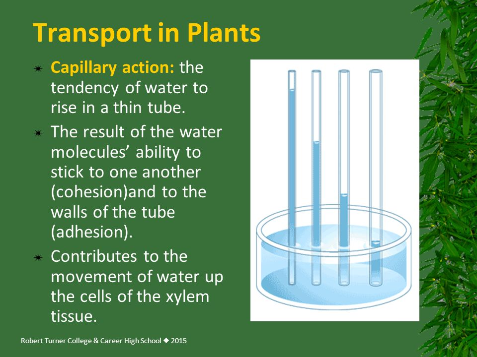 Robert Turner College & Career High School  2015 Transport in Plants  Capillary action: the tendency of water to rise in a thin tube.  The result o