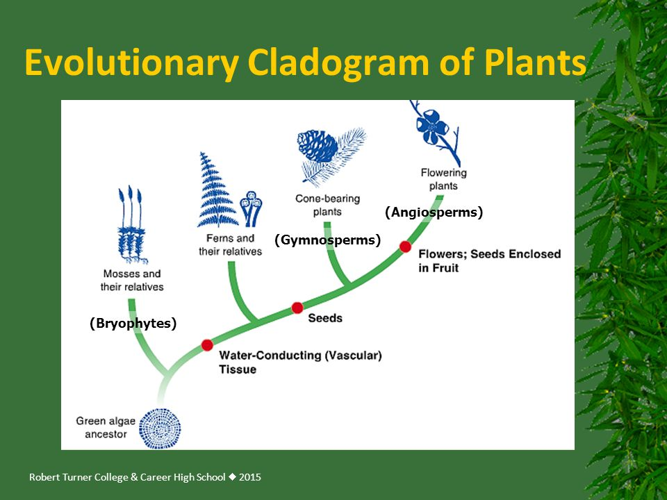 Robert Turner College & Career High School  2015 Evolutionary Cladogram of Plants (Angiosperms) (Gymnosperms) (Bryophytes)