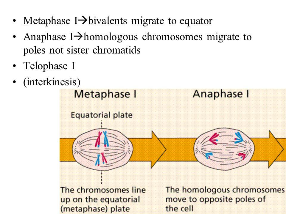 Metaphase I  bivalents migrate to equator Anaphase I  homologous chromosomes migrate to poles not sister chromatids Telophase I (interkinesis)