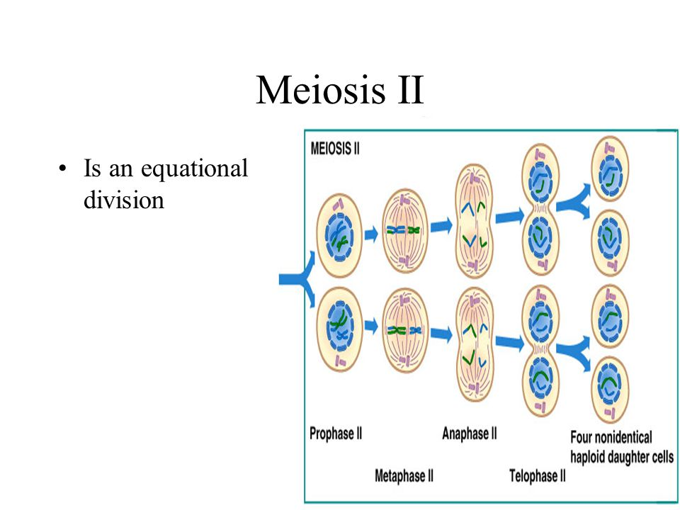 Meiosis II Is an equational division